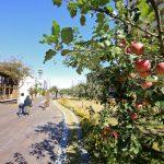 ③りんご並木