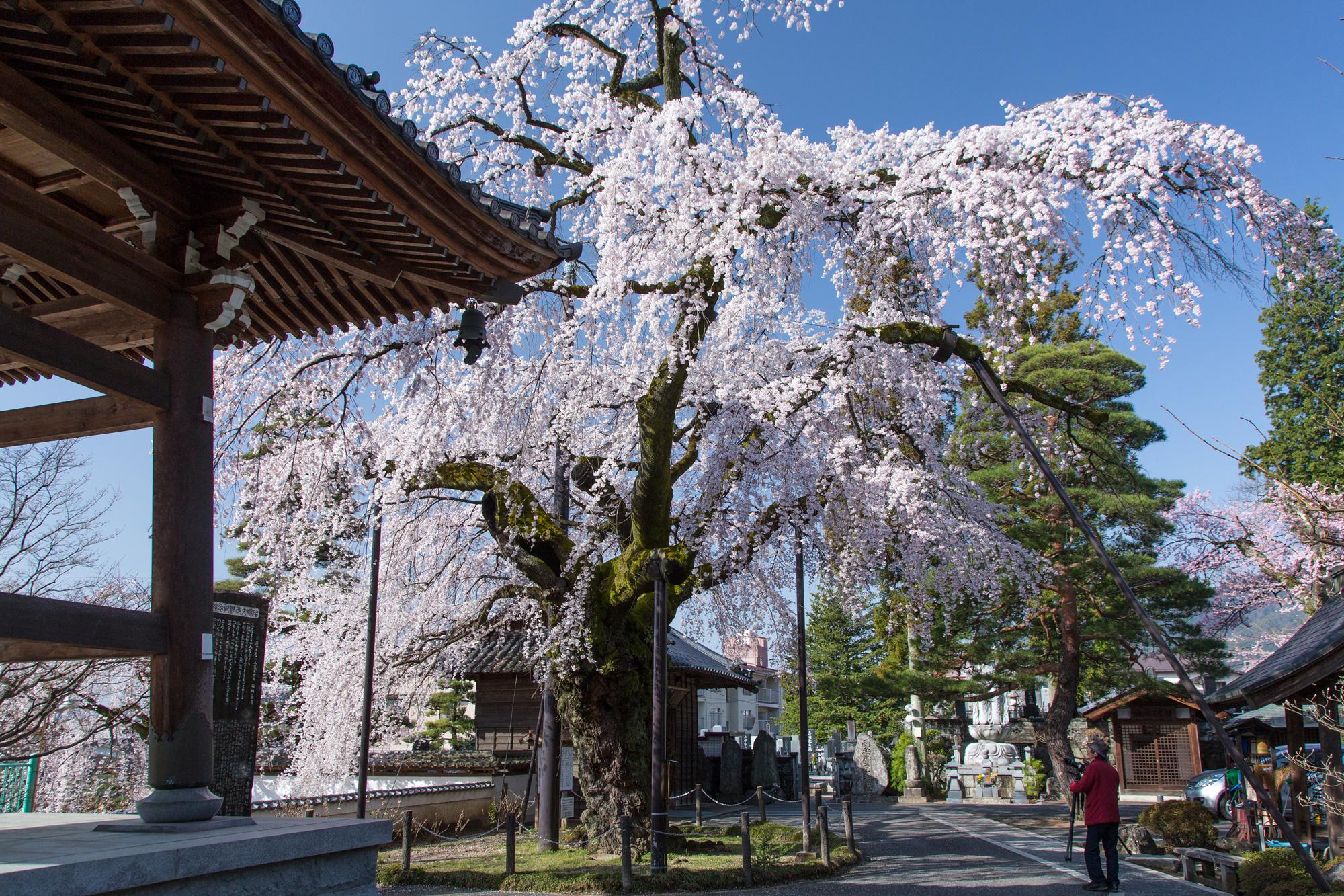 阿弥陀寺の枝垂れ桜(飯田市)