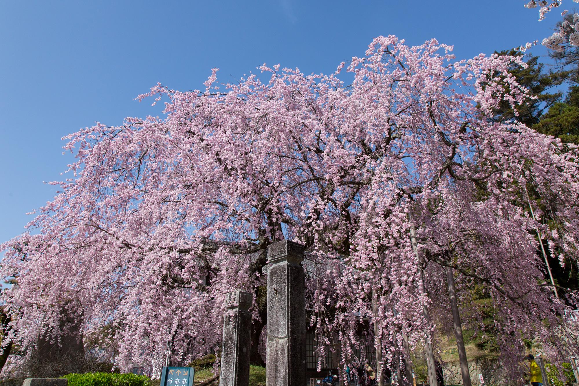 麻績の里舞台桜(飯田市)