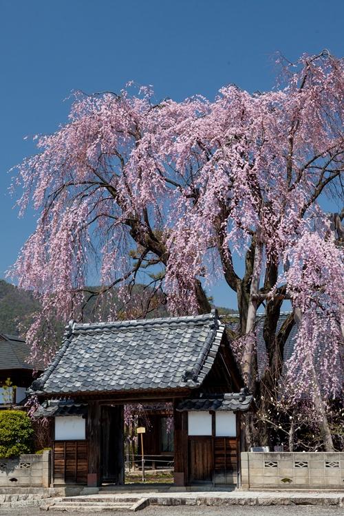 増泉寺の桜(夜)