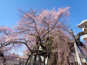夫婦桜3.22