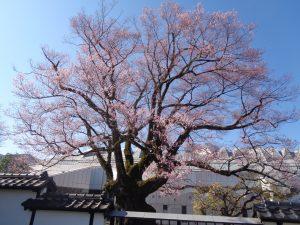 安富桜3.23