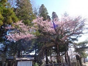 清秀桜3.23