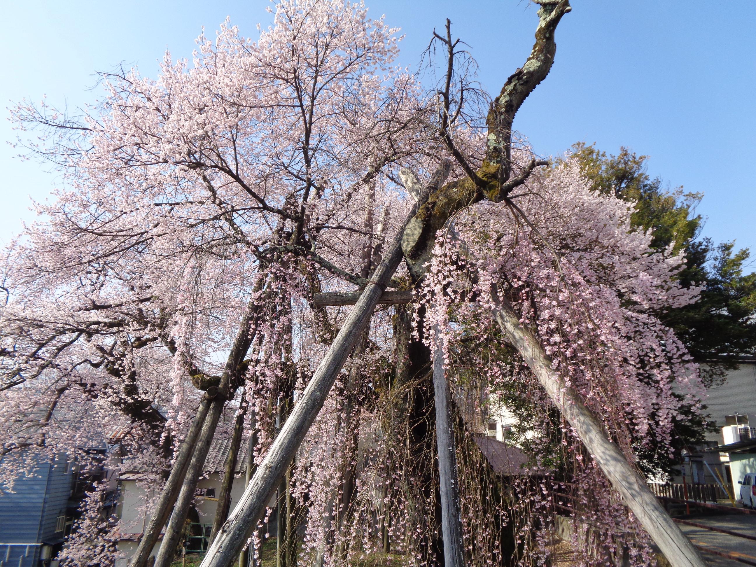 0326夫婦桜