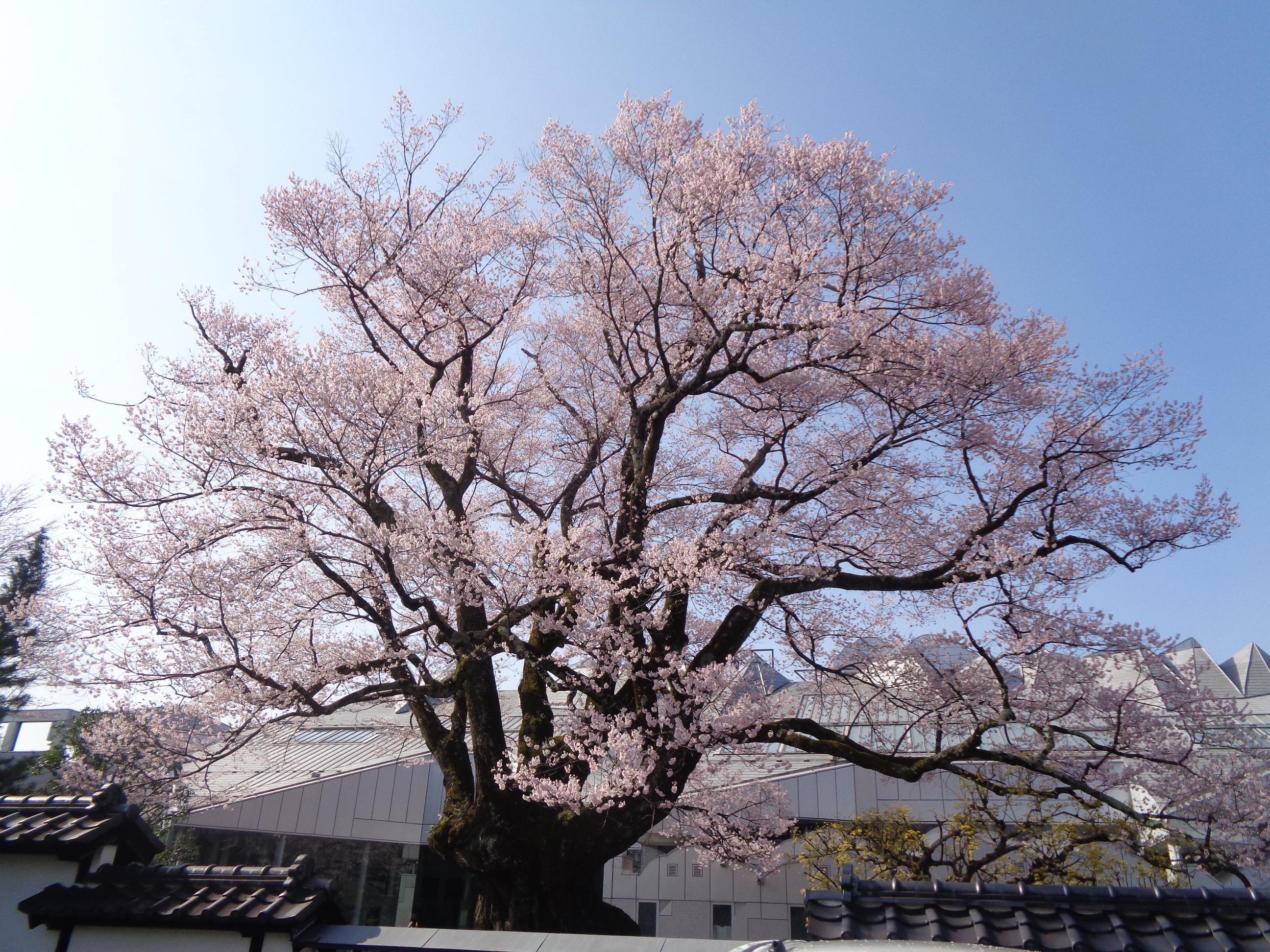 0326安富桜