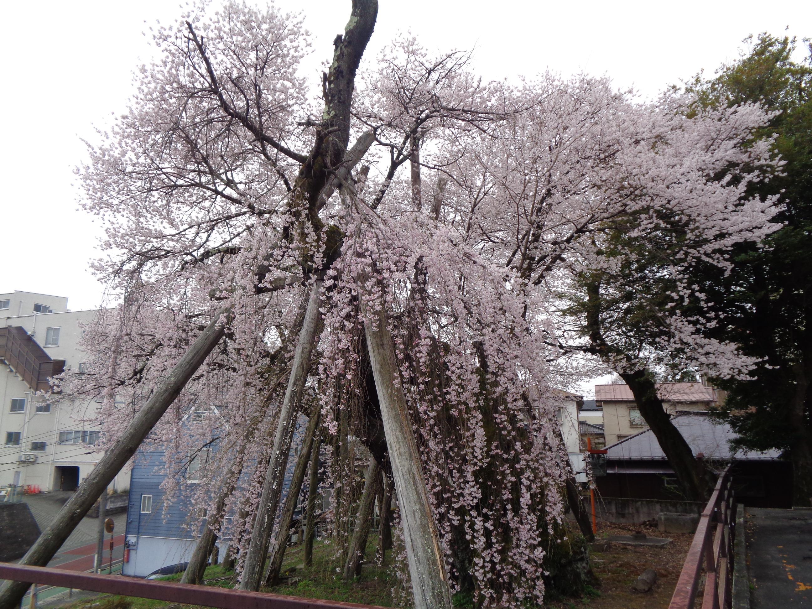 0328夫婦桜