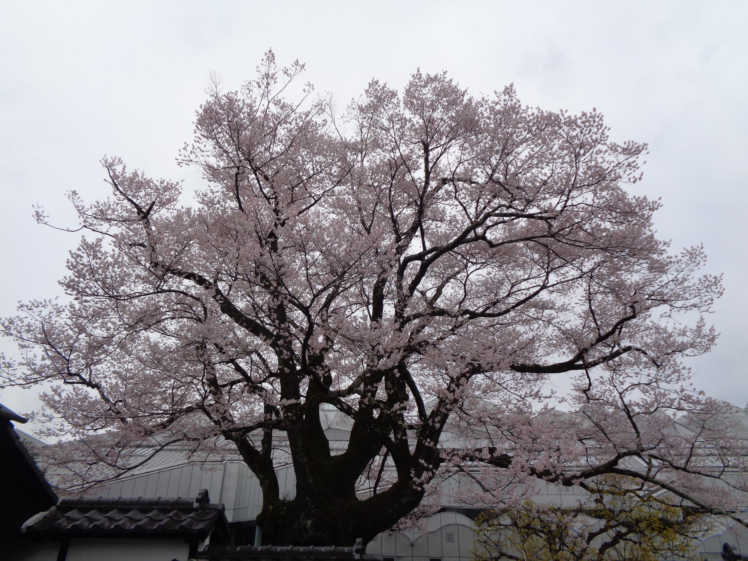 0328安富桜