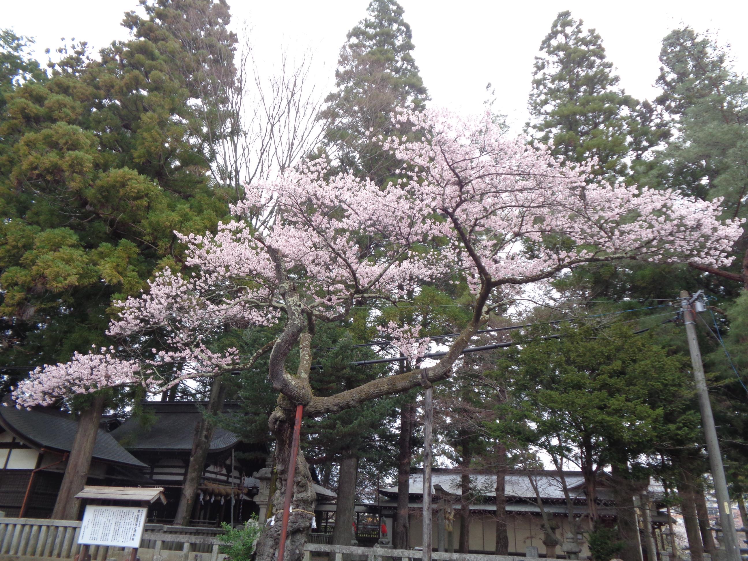0328清秀桜