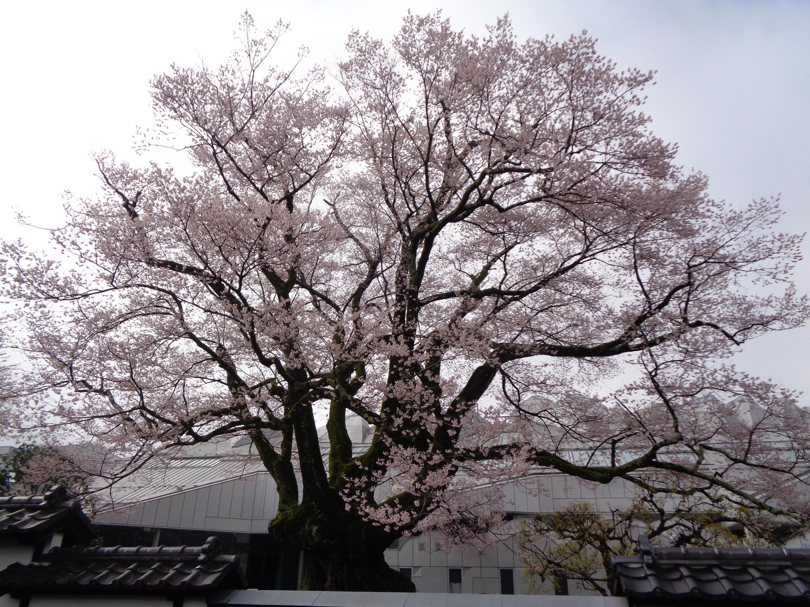 0329安富桜
