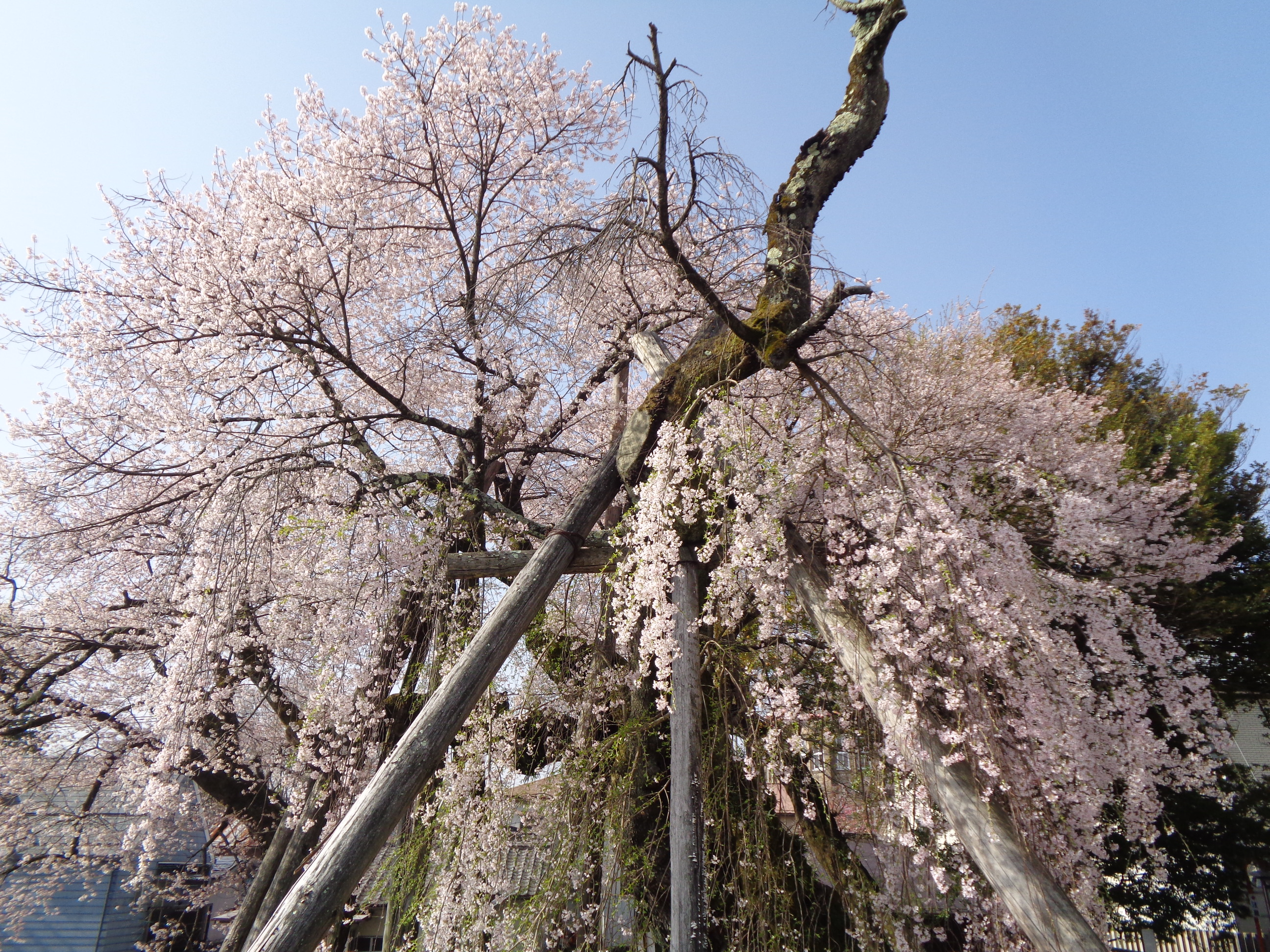0331夫婦桜