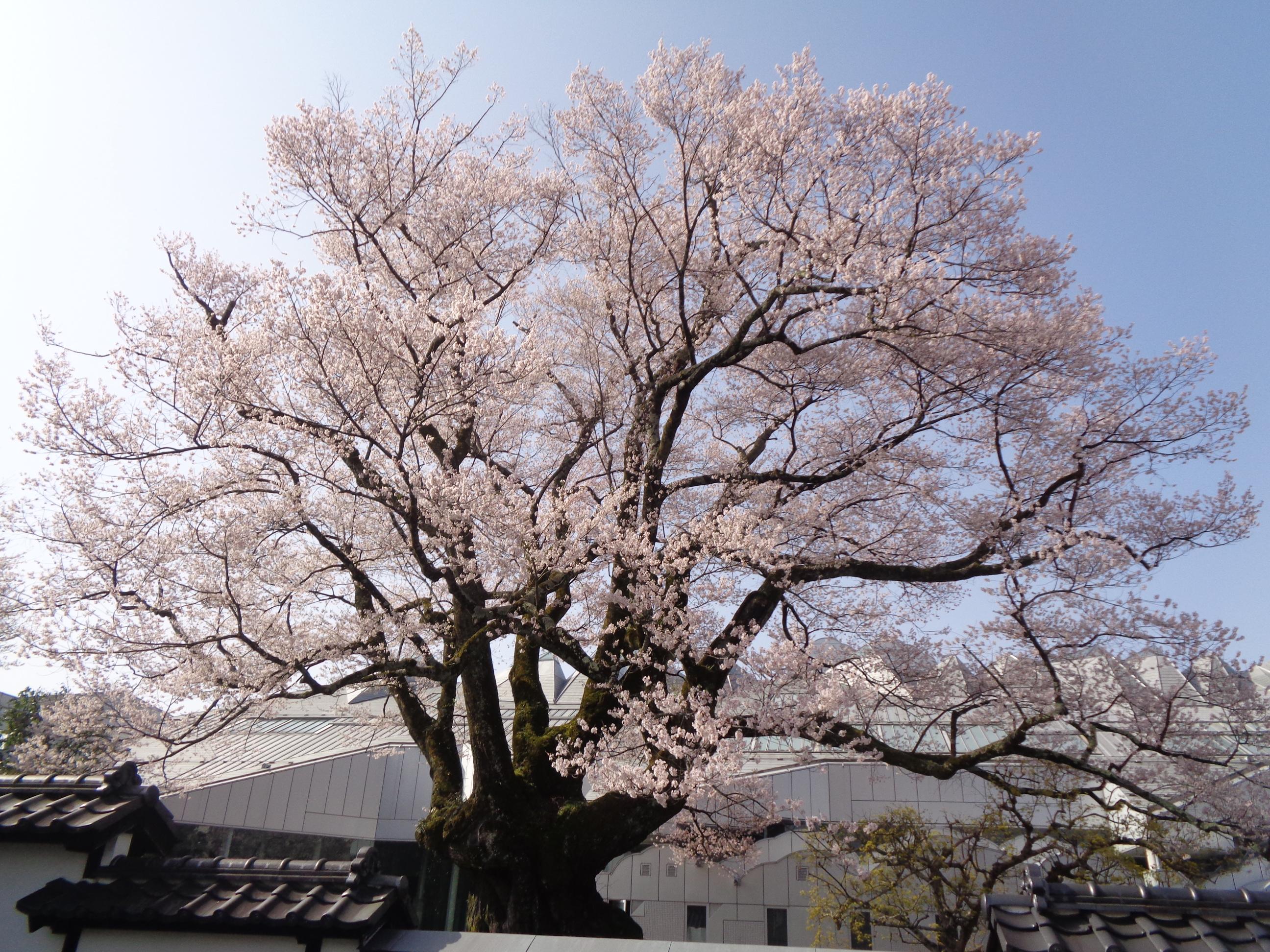 0331安富桜