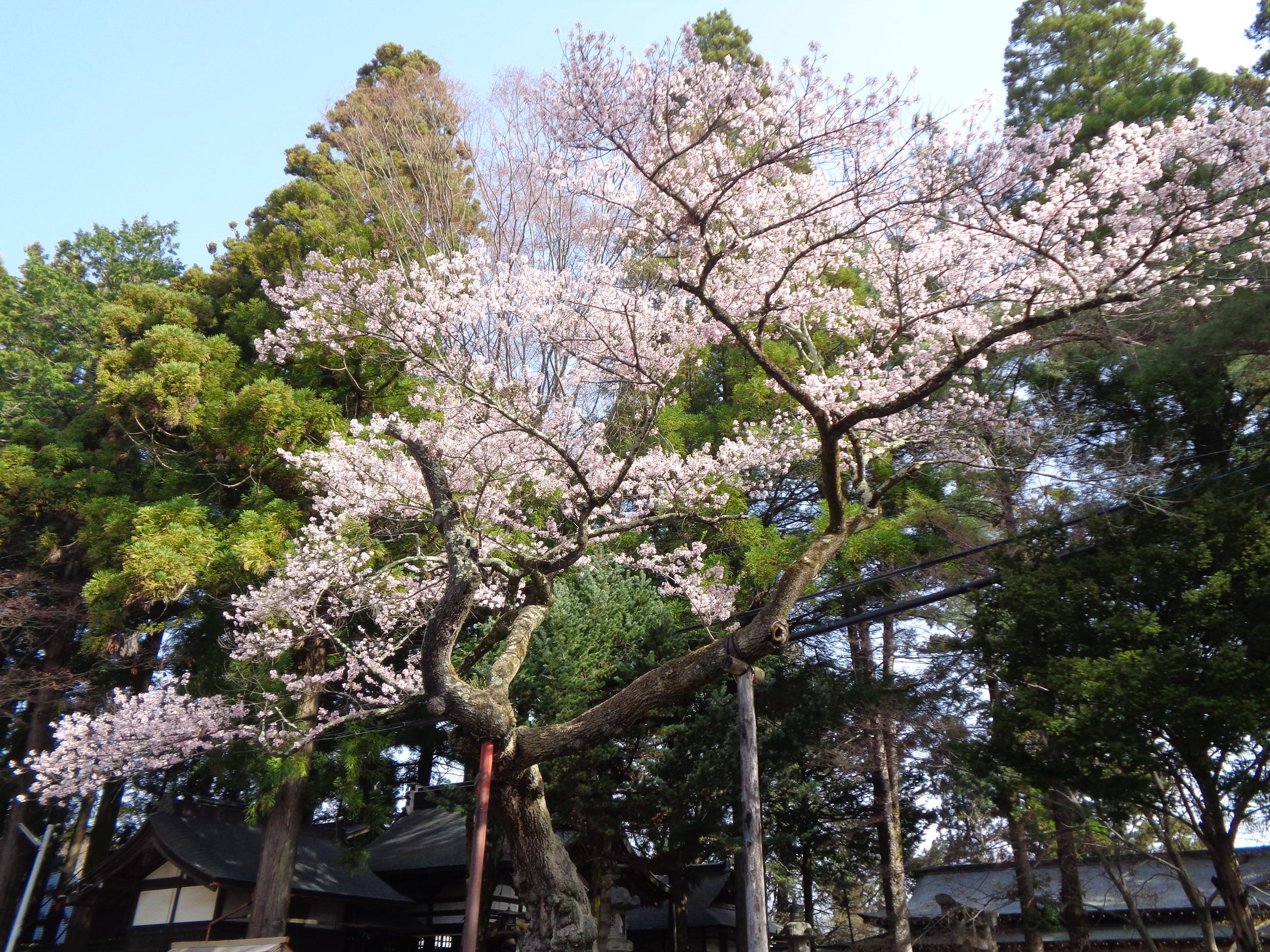 0331清秀桜