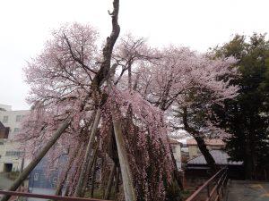 325夫婦桜