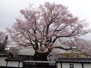 325安富桜