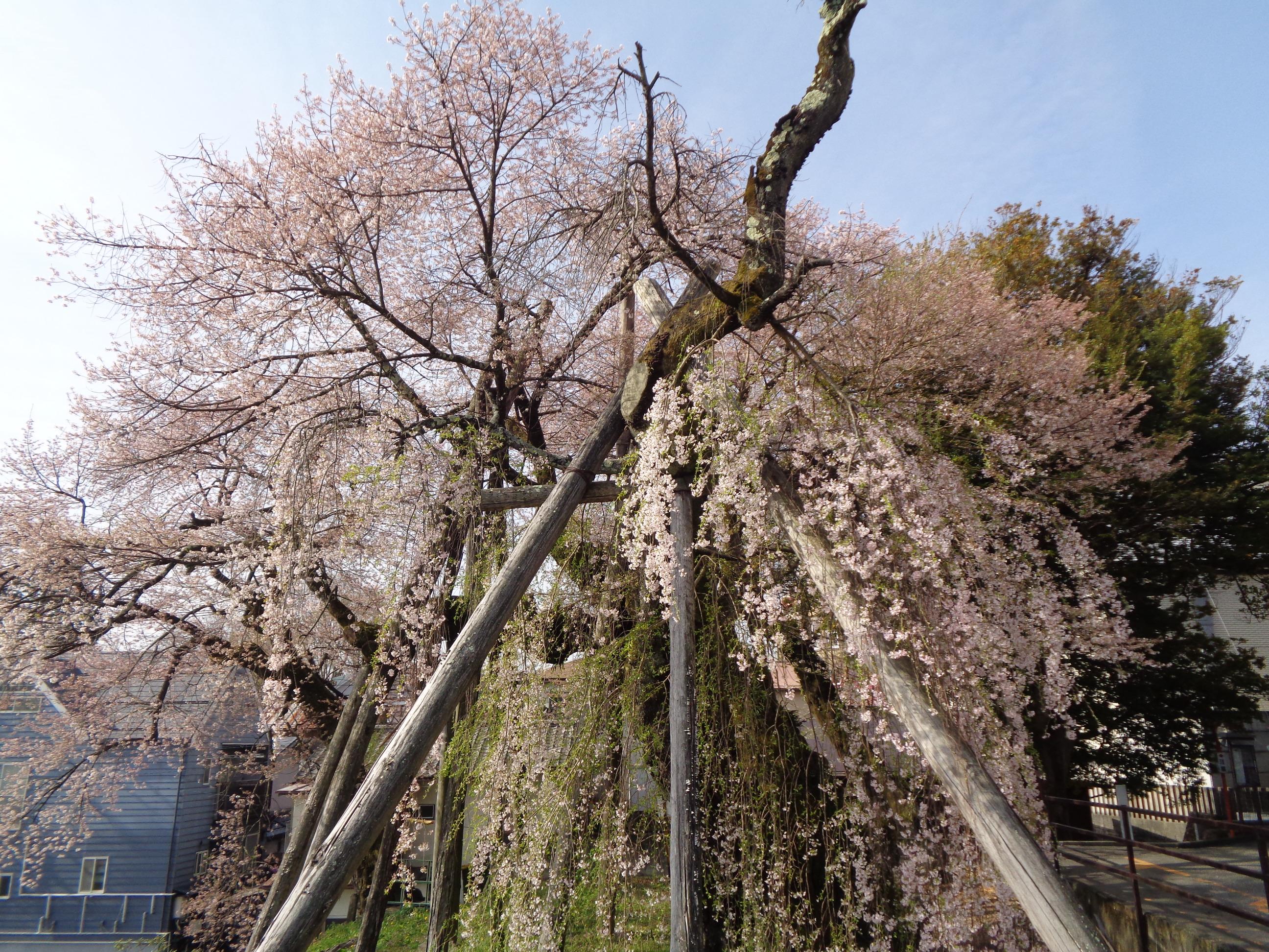 0401夫婦桜