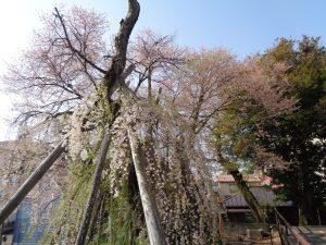 0402夫婦桜