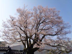 0402安富桜