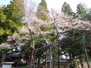 0402清秀桜