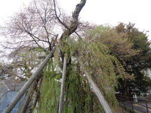 0405夫婦桜