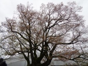 0405安富桜