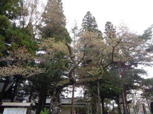 0405清秀桜