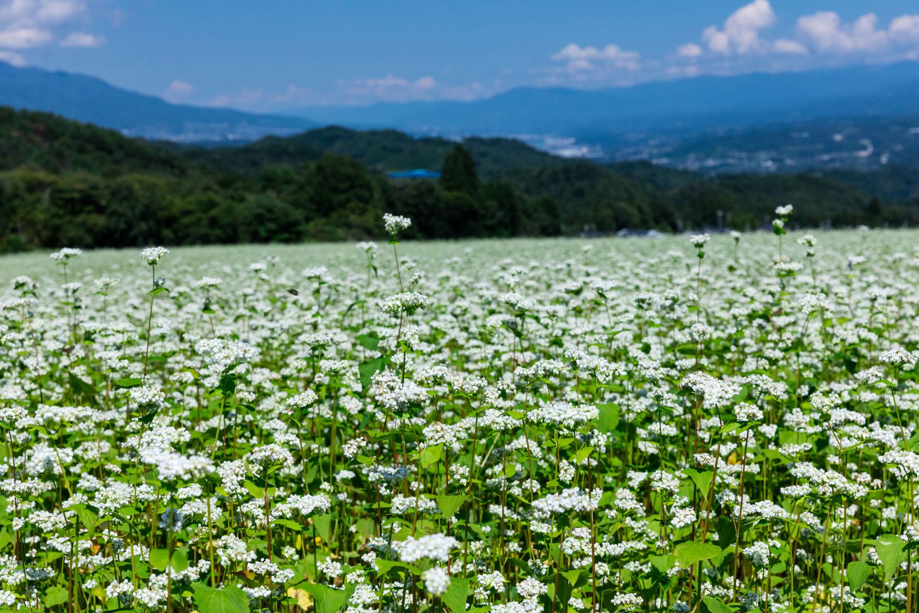 そばの花(下條村)